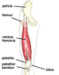Rectus Femoris Anatomy Reference Pictures - http://www.higher-faster-sports.com/images/rectus-femoris.jpg