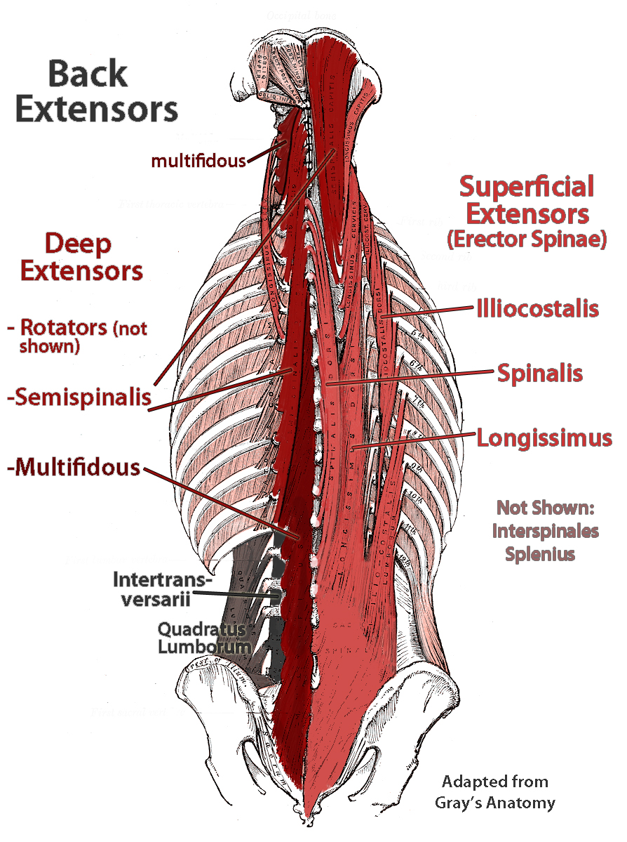 Pike stretches in gymnastics what muscles you may be actually lower back extensor anatomy multifidus and errector spinae shown httpfixtheneck pooptronica