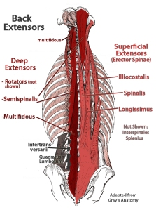 Lower Back Extensor Anatomy - Multifidus and Errector Spinae Shown http://fixtheneck.com/wordpress/wp-content/uploads/2012/07/backextensors.jpg