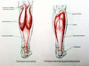 Calf Muscle Anatomy - http://www.keyaspectscoaching.com/wp-content/uploads/2011/03/calf-muscle-stretches-to-improve-snowboarding.jpg